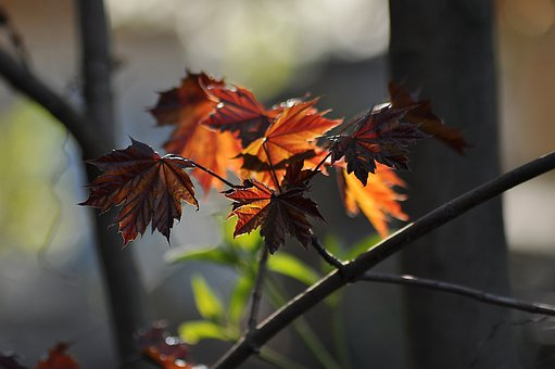 Maple, Red, Young, Leaves, Spring, Tree, Branch, Bright