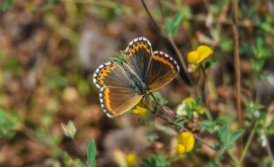 Butterfly, Plant, Nature, Brown Argus, Flowers, Spring