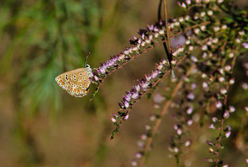 Butterfly, Heather, Plant, Violet, Nature, Brown Argus