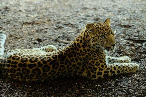 Animal, Cheetah, Jaguar, Leopard, Panther, Feline