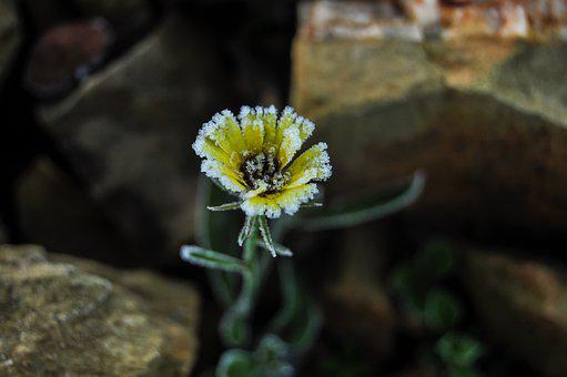 Rocks, Frost, Depth, Flower, Common Andryala, Yellow