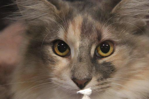 Cats, Felines, Maine-coon, Pedigree, Contest, Cat Show