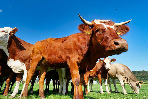 Cow, Agriculture, Funny, Curious, Cattle, Group