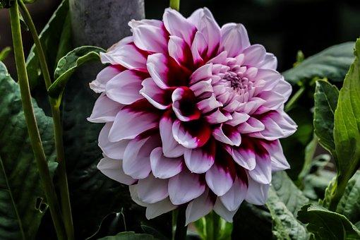 Plant, Flower, Blossom, Bloom, Dahlia, Garden