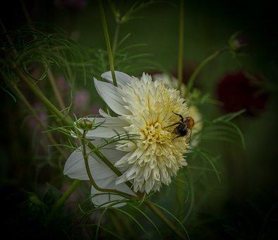 Dahlia, Flowers, Blossom, Bloom, Nature, Plant, Flora