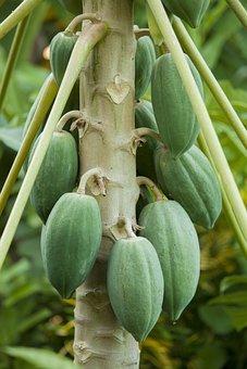 Papaya, Flowering Papaya, Dot, Fruit, Flowers, Leaves
