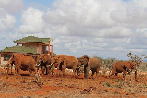 Elephant, Water Hole, Africa, Tsavo East, National Park