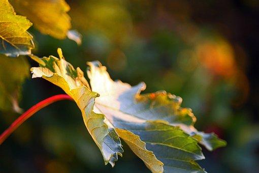 Maple Leaf, Fall Foliage, Leaves, Fall Color