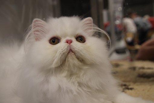 Cats, Felines, Persian Cat, Contest, Cat Show, Fur