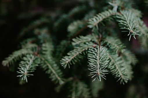 Christmas, Tree, Noble Fir, Grand, Fir, Pine, Holiday