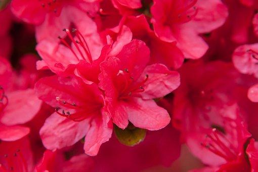 Azalea, Flowers, Nature, Spring, Shrub, Plants, Flora