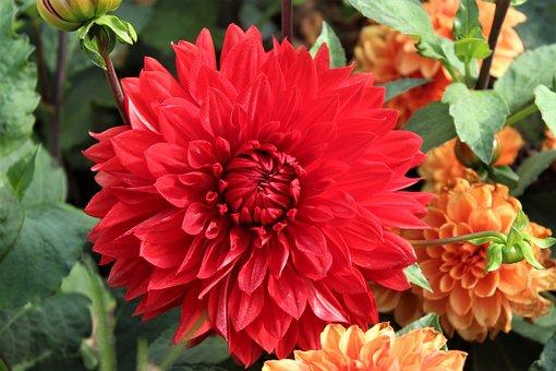 Red, Flower, Bloom, Blossom, Garden, Flora, Nature