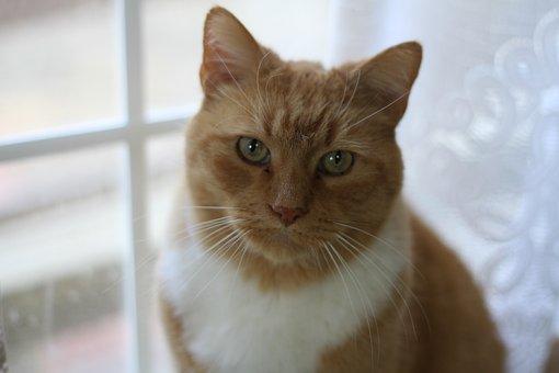 Cat, Orange, Animal, Cute, Pet, Feline, Fur, Portrait