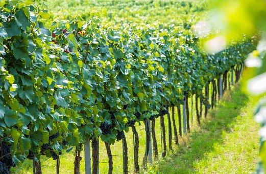 Grapevine, Nature, Grapes, Fruit, Vine, Wachau, Austria