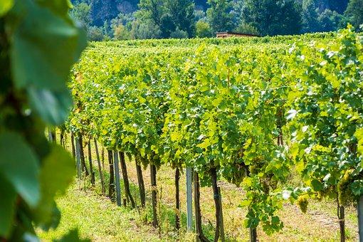 Vine, Nature, Grapes, Fruit, Vines Stock, Green