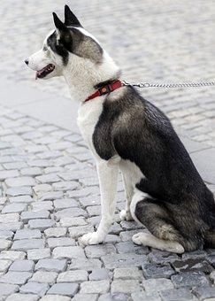 Dog, Domestic, Pet, Canine, Husky, Leash, Cute