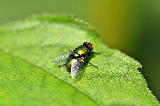 Fly, Insect, Wing, Compound Eyes, Animal, Leaf