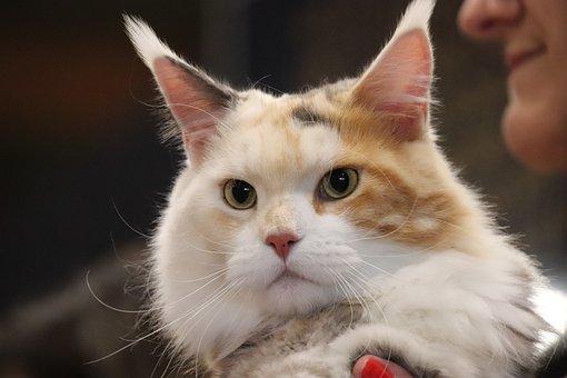 Cats, Felines, Maine-coon, Contest, Cat Show, Kitten