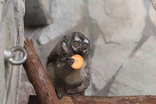 Lemur, Zoo, Cute, Animal, Sweet, Monkey, äffchen