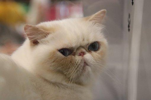 Cats, Felines, Persian Cat, Pedigree, Contest, Cat Show