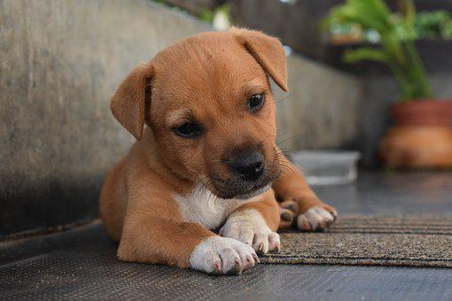 Dog, Cute, Pet, Puppy, Animal
