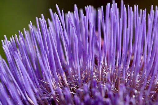 Artichoke, Artichoke Flower, Purple, Petals, Close Up