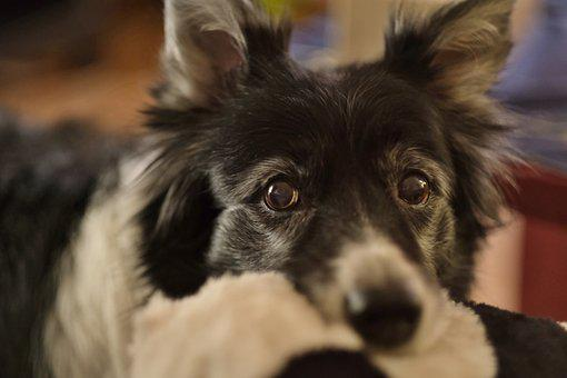 Dog, Collie, Animal, Black, Cute, Portrait, Nose