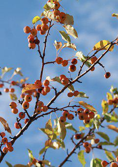 Apples, Autumn, Harvest, Nutrition, Fruit, Red, Fresh