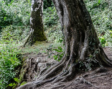 Tree, Root, Nature, Roots, Green, Leaves, Old, Trunk