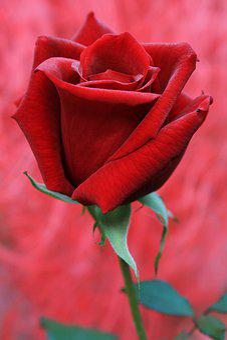Red Rose, Rose, Feeling, Passion, Flower, Rose Blooms