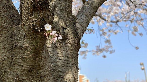 Spring, Sakura, Nature, Bloom, Japan, Blossom, Pink