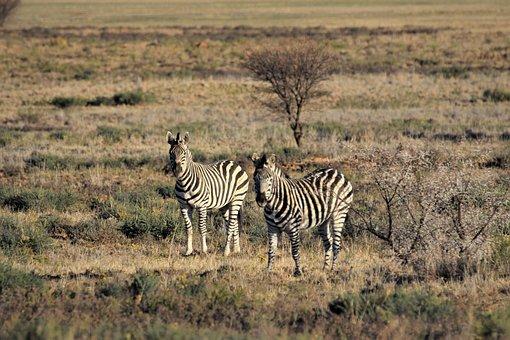 Zebra, Burchell, Camouflage, Game, Drive, Wild, South