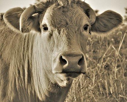 Cow, Closeup, Staring, Nose, Big Eyes