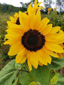 Sunflower, Sun, Summer, Yellow, Bloom, Flower, Nature
