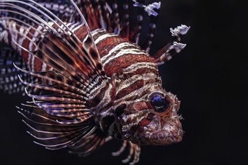 Lion, Fish, Sea, Astrology, Lionfish, Aries, Underwater