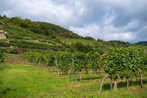 Vineyard, Vines, Winegrowing, Vine, Plant, Vines Stock