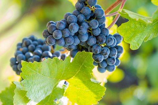 Grapes, Blue, Fruit, Grapevine, Vine, Healthy, Vitamins