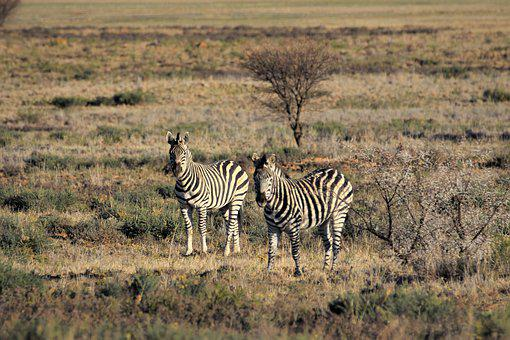 Zebra, Burchell, Camouflage, Game, Drive, Wild, South