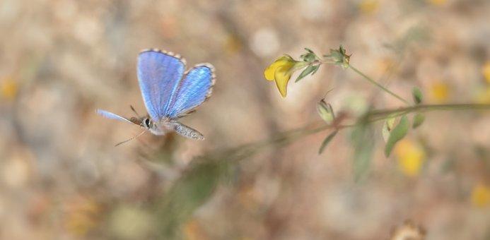 Butterfly, Common Blue, Flight, Fly, Wings, Blue