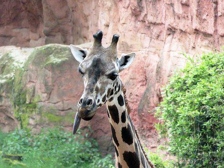 Giraffe, Zoo, Animal, Animal World, Neck, Head, Nature