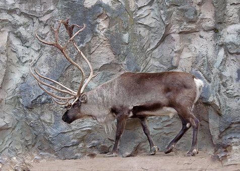 Reindeer, Antler, Hirsch, Animal, Animal World