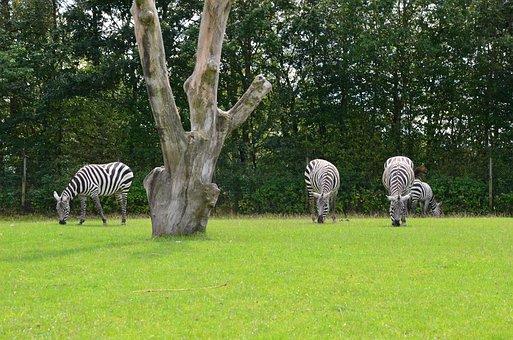Zebra, Savannah, Safari, Africa, Animal World, Nature