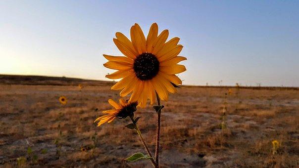 Sunflower, Bee, Fall, Antelope Island, Utah, Autumn