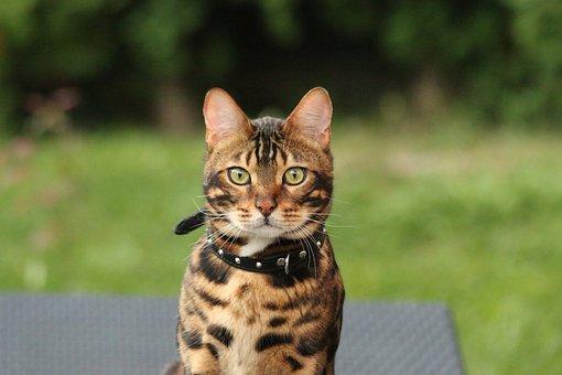 Bengal Cat, Bengal, Tiger, Cat, Feline, Animal, Nature