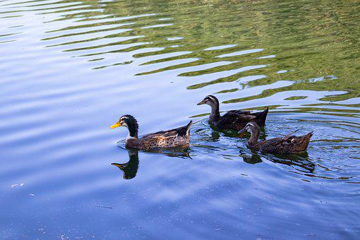 Duck, Lake, Water, Nature, Pond, Bud, Wing, Birds, Park