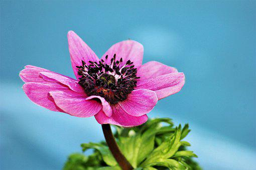 Anemone, Pink, Flower, Blossom, Bloom, Nature, Garden