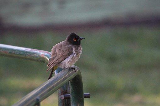 African Red Eyed Bulbul, Bird, Watching, Brown, Orange