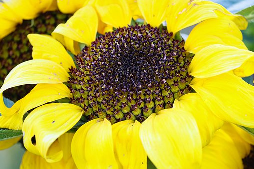 Sunflower, Autumn, Helianthus, Fade, Age