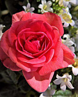 Flower, Rose, Floribunda, Ornamental Plant