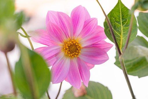 Flower, Blossom, Bloom, Dahlia, Plant, Garden